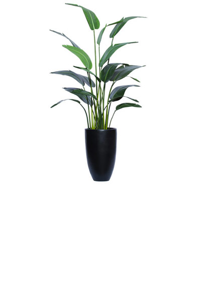 7' TRAVELERS PALM IN BLACK ROUND POT