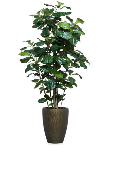 6.5' FIDDLE FIG BUSH IN TALL BRONZE DIMPLED POT