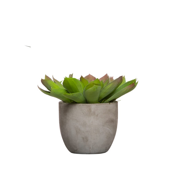 LARGE ECHEVERIA IN SMALL CEMENT POT