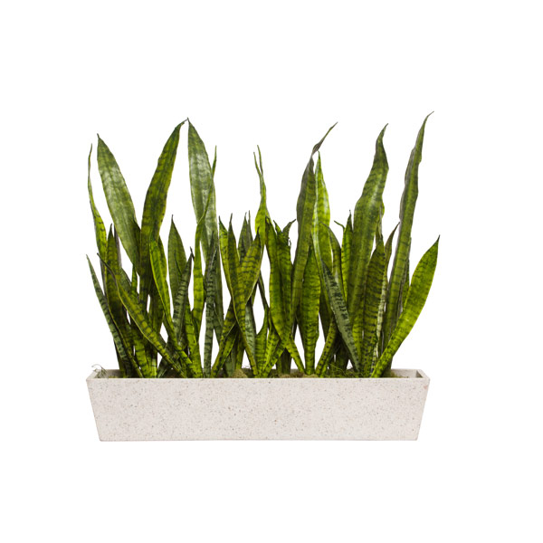 SNAKE PLANT IN WHITE RECTANGLE POT
