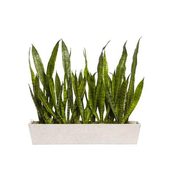 SNAKE PLANT IN WHITE RECTANGLE POT