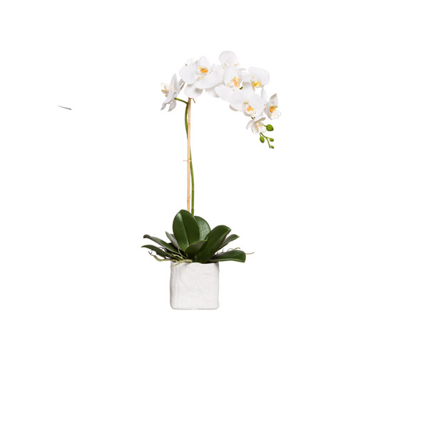 WHITE PHAL IN SMALL WHITE LINEN POT
