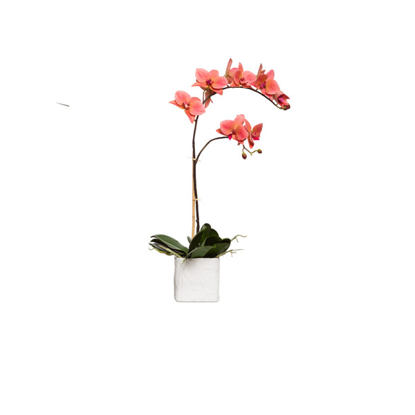 CORAL PHAL IN SMALL WHITE LINEN POT