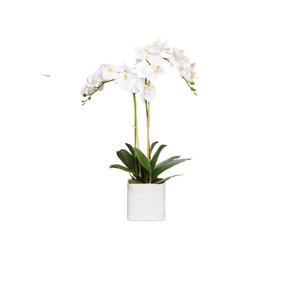WHITE PHAL IN WHITE LINEN POT