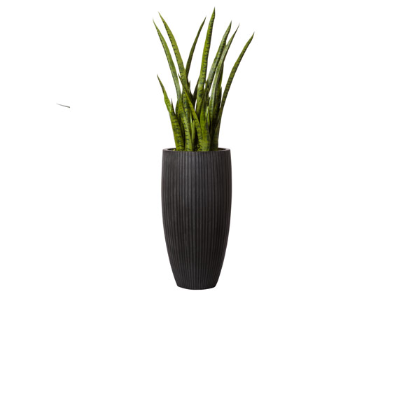 5' SNAKE PLANT IN BLACK POT