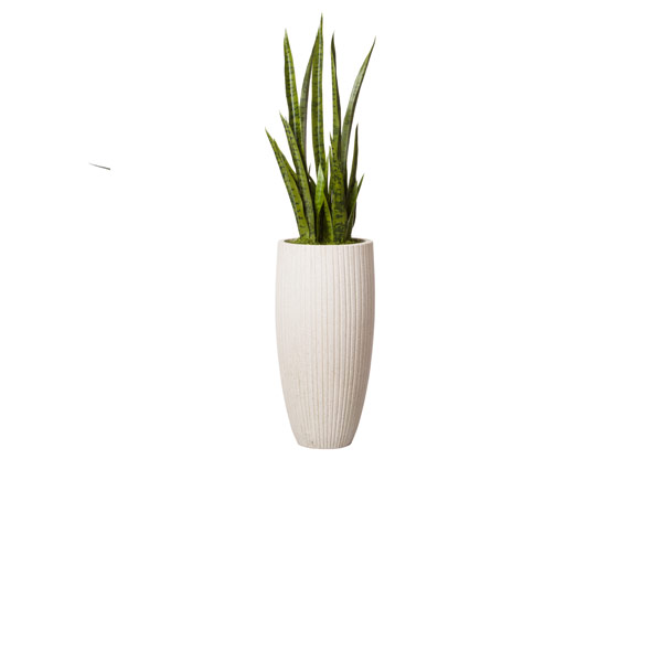 4.5' SNAKE PLANT IN WHITE POT