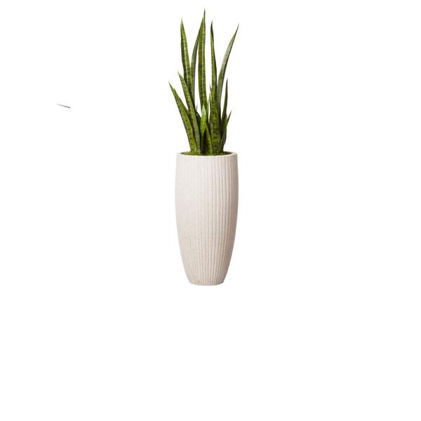 4.5' SNAKE PLANT IN WHITE POT