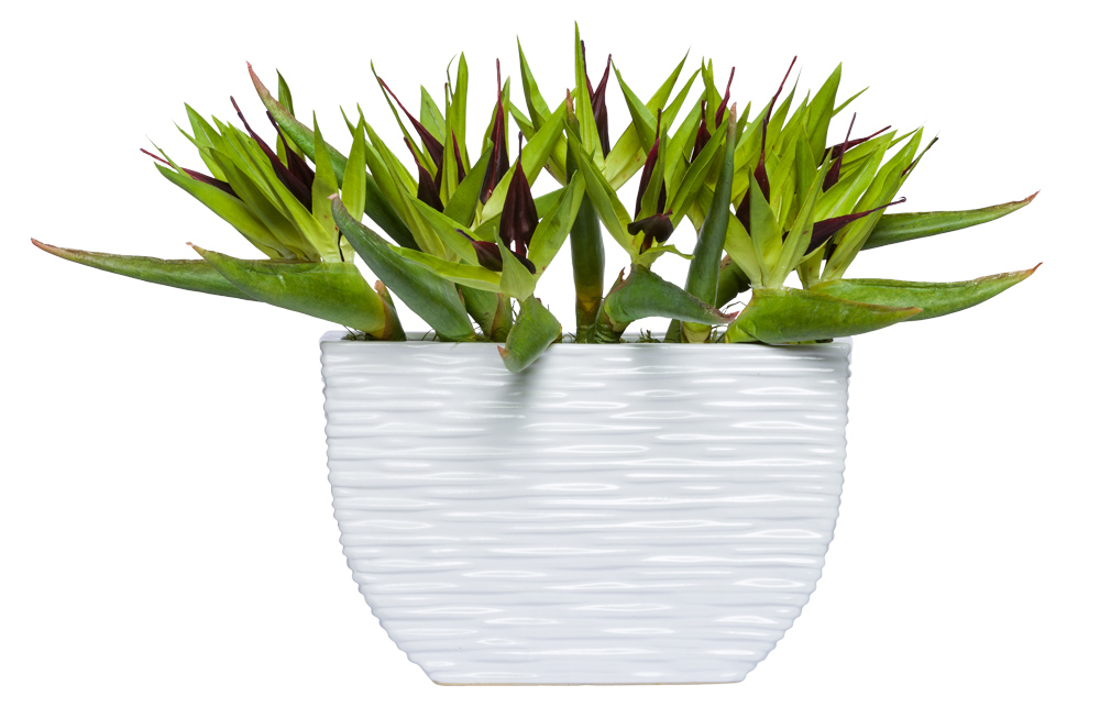 GREEN BIRD OF PARADISE IN WHITE POT