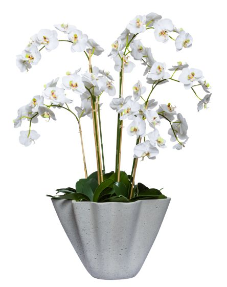 WHITE PHAL IN LARGE PLANTER