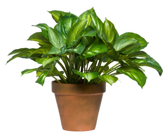 HOSTA PLANT IN TC POT