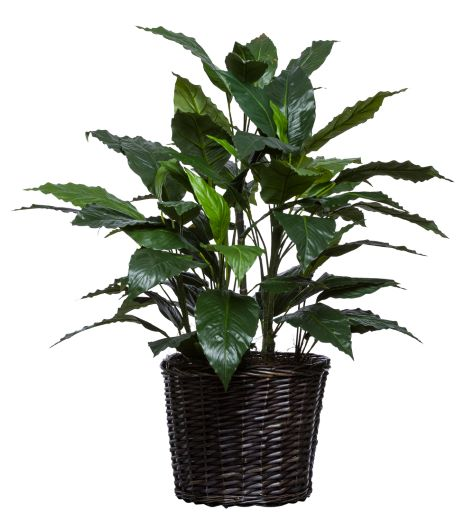 SPATH PLANT IN BASKET