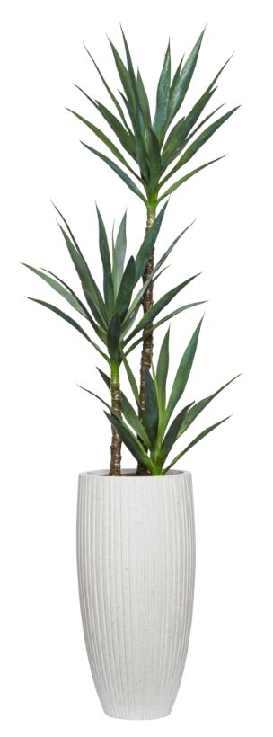 6' NARROW YUCCA X 3 IN WHITE POT