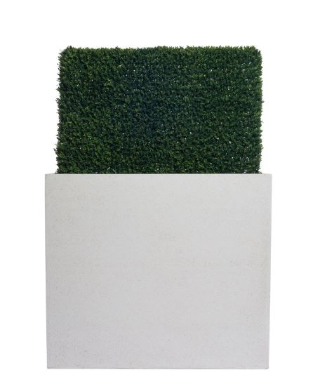 BOXWOOD HEDGE IN TALL WHITE PLANTER