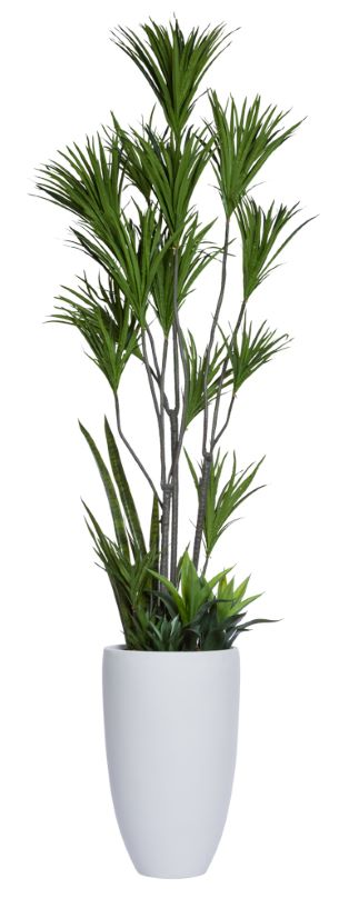 DRACENA COMBO IN TALL WHITE POT