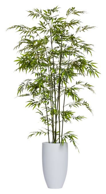 8' GREEN BAMBOO IN TALL WHITE POT