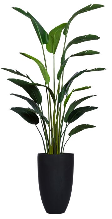 8' TRAVELERS PALM IN TALL BLACK POT