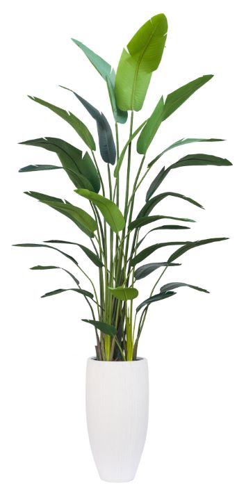 11' DELUXE TRAVELERS PALM IN TALL WHITE RIBBED POT