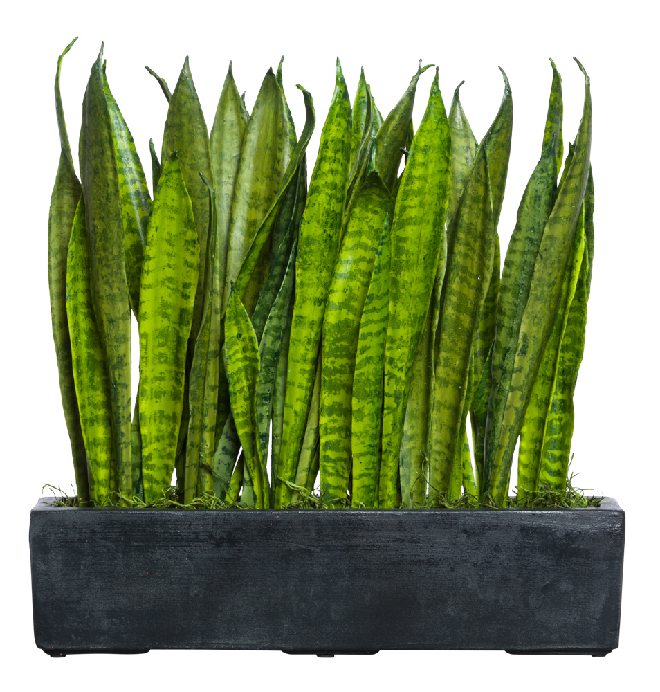 SNAKE PLANT IN BLACK RECTANGLE POT