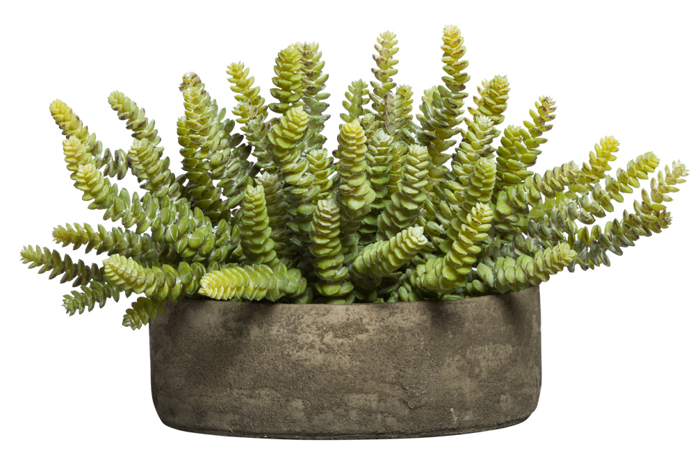 DONKEY TAIL SUCCULENT IN ROUND BOWL