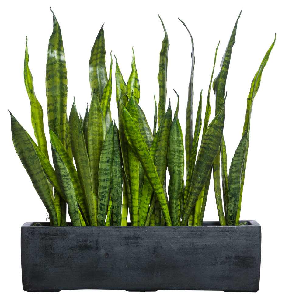 SNAKE PLANT IN BLACK RECTANGLE