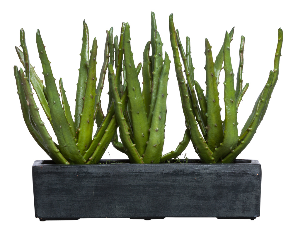 ALOE IN BLACK RECTANGLE