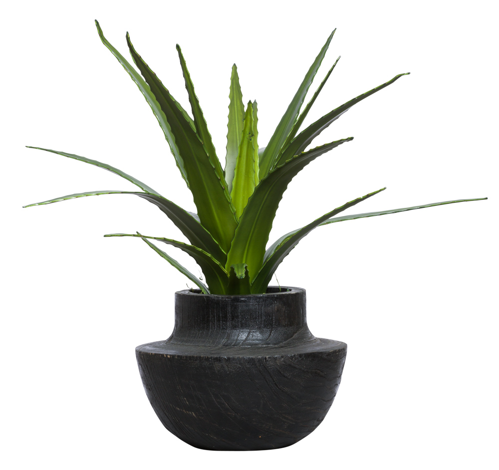 AGAVE IN BLACK BOWL