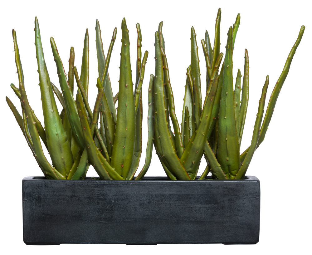 ALOE IN LARGE BLACK RECTANGLE