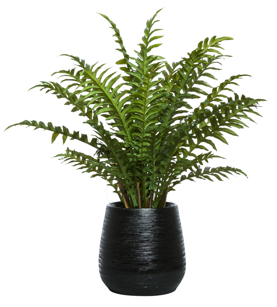 LARGE FERN IN BLACK BENJI POT