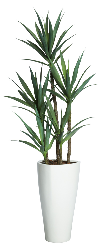 6' SKINNY YUCCA IN WHITE TRIANGLE