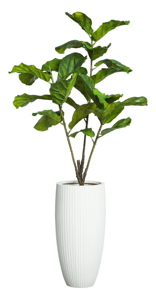5.5' FIDDLE FIG IN WHITE RIBBED POT