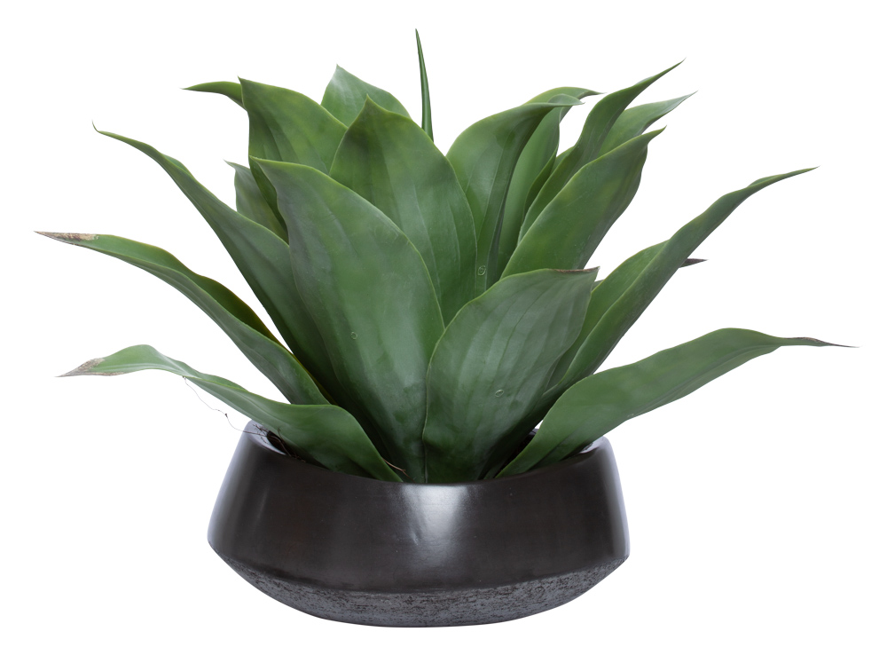LARGE AGAVE IN BLACK BOWL