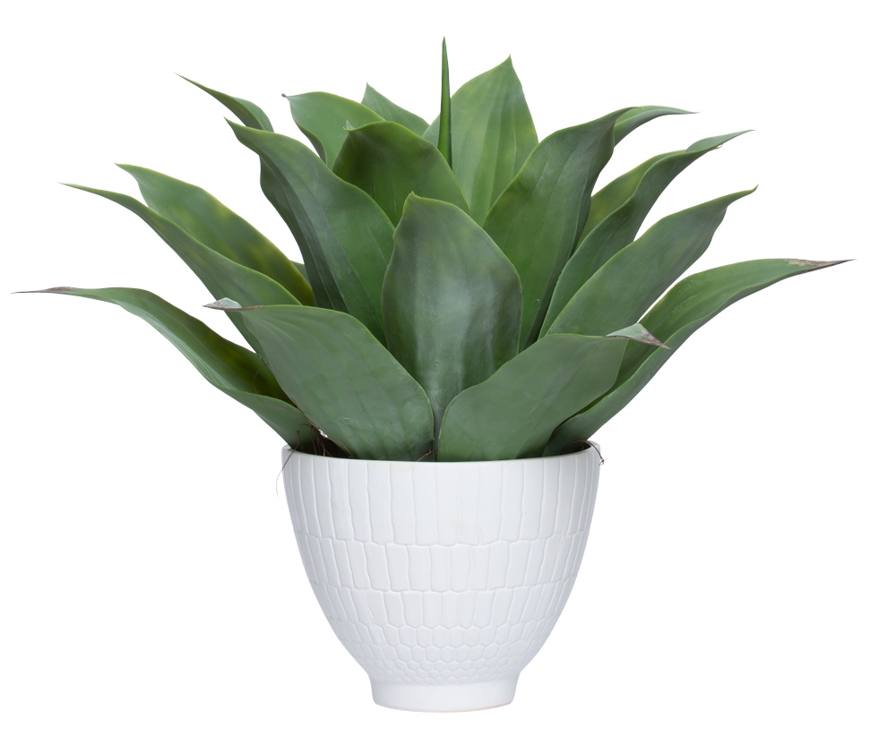 AGAVE IN LARGE WHITE POT