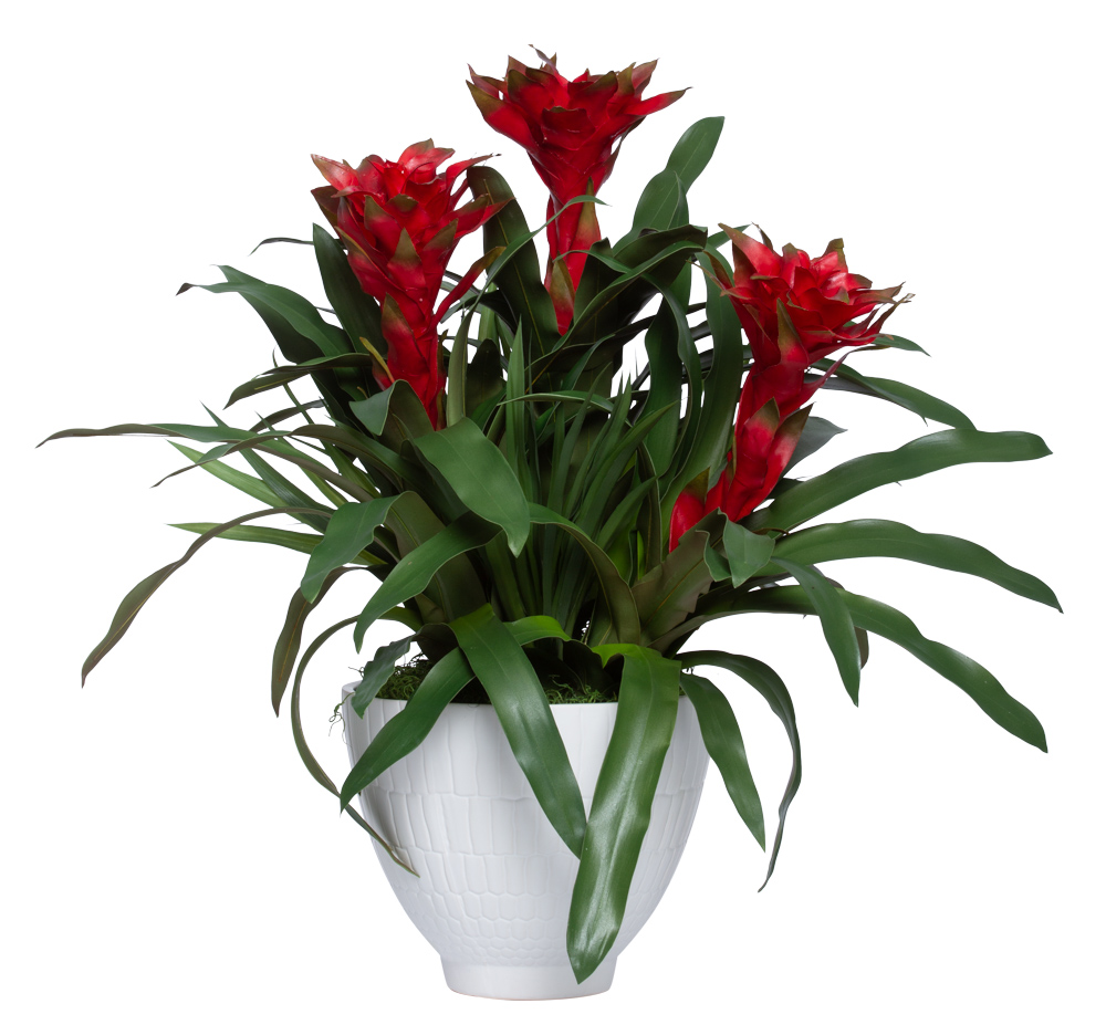 RED BROMELIAD IN LARGE WHITE POT