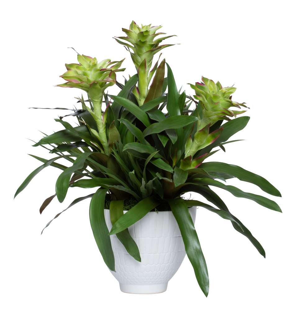 GREEN BROMELIAD IN LARGE WHITE POT