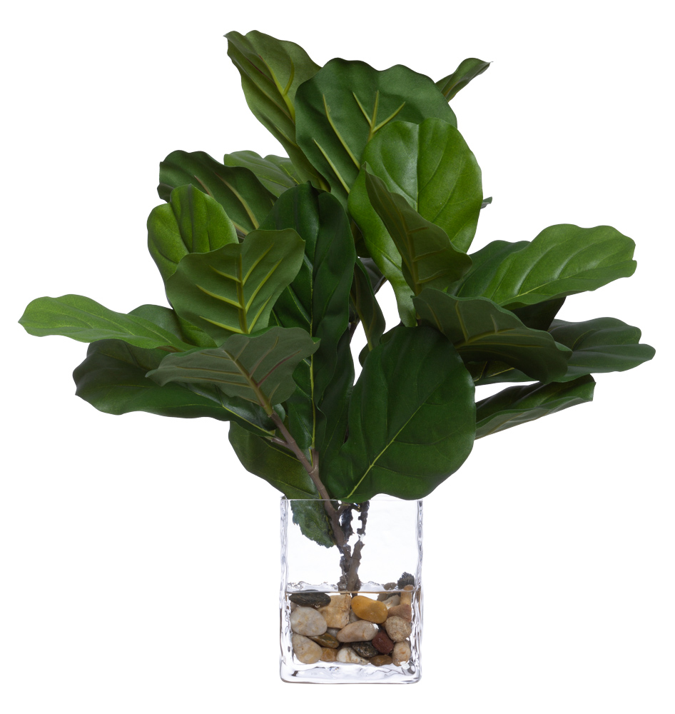 FIDDLE FIG STEM WATER LIKE