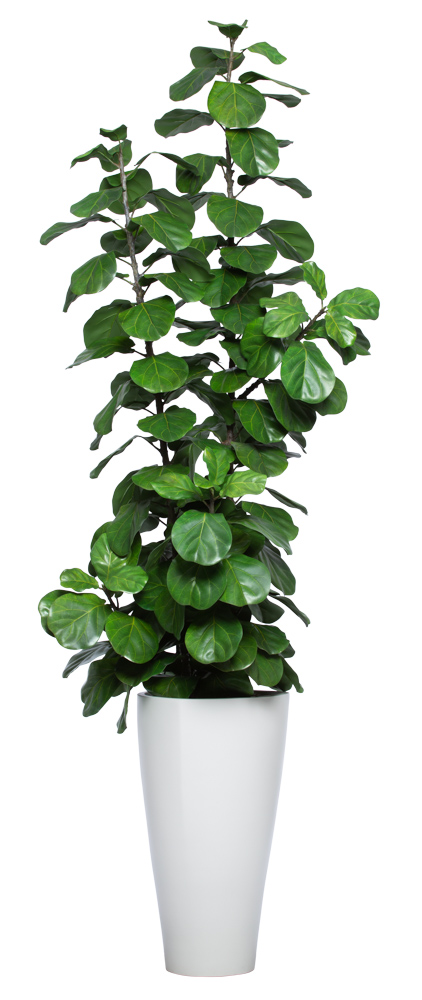 8.5' SKINNY DLX FIDDLE FIG IN WHITE SANDSTONE TRIANGLE POT