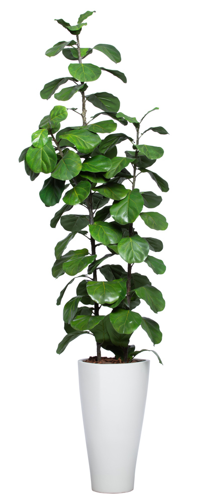 7.5' DELUXE SKINNY FIDDLE FIG IN WHITE SANDSTONE TRIANGLE POT