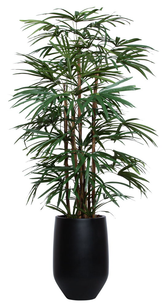 5.5' UV LADY FINGER PALM IN BLACK SANDSTONE ROUND POT