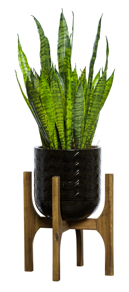 SNAKE PLANT IN SMALL BLACK TEXTURED STAND