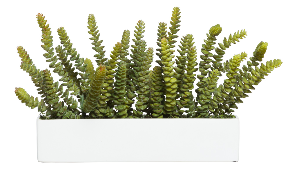 DONKEY TAIL IN WHITE PLANTER