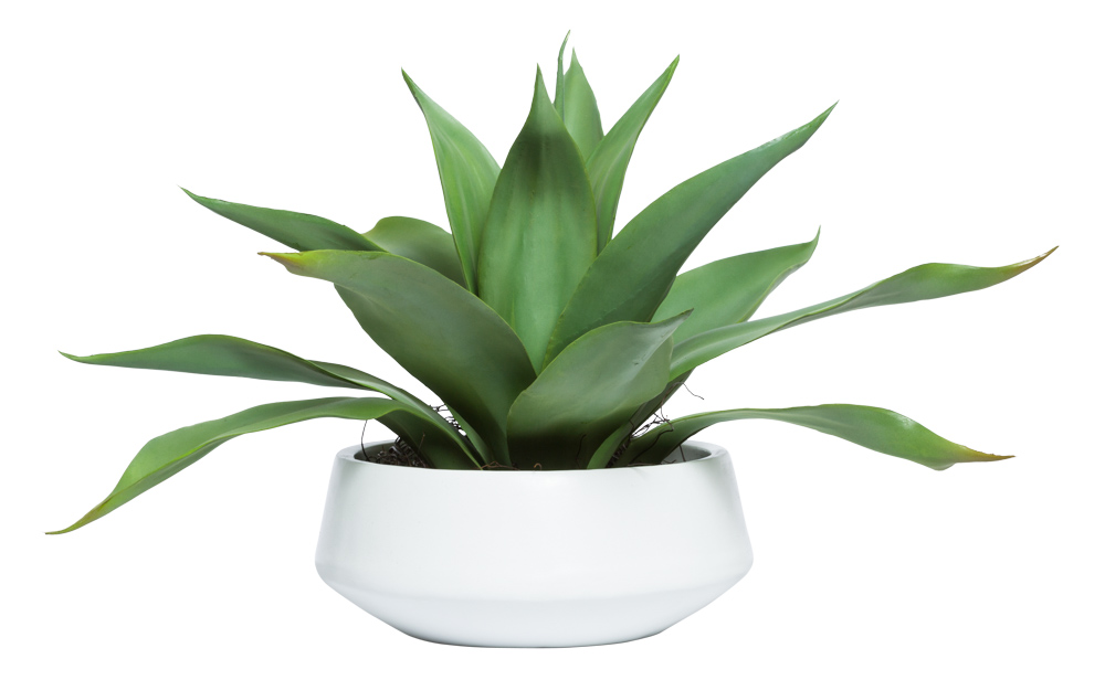 AGAVE IN WHITE BOWL