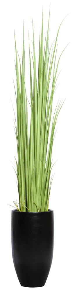 GLADIOLUS GRASS IN TALL BLACK POT