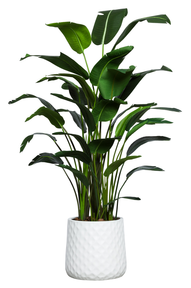DLX TRAVELERS PALM IN WHITE WAFFLE POT