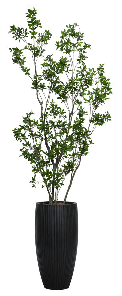 ASIAN FICUS IN BLACK RIBBED POT