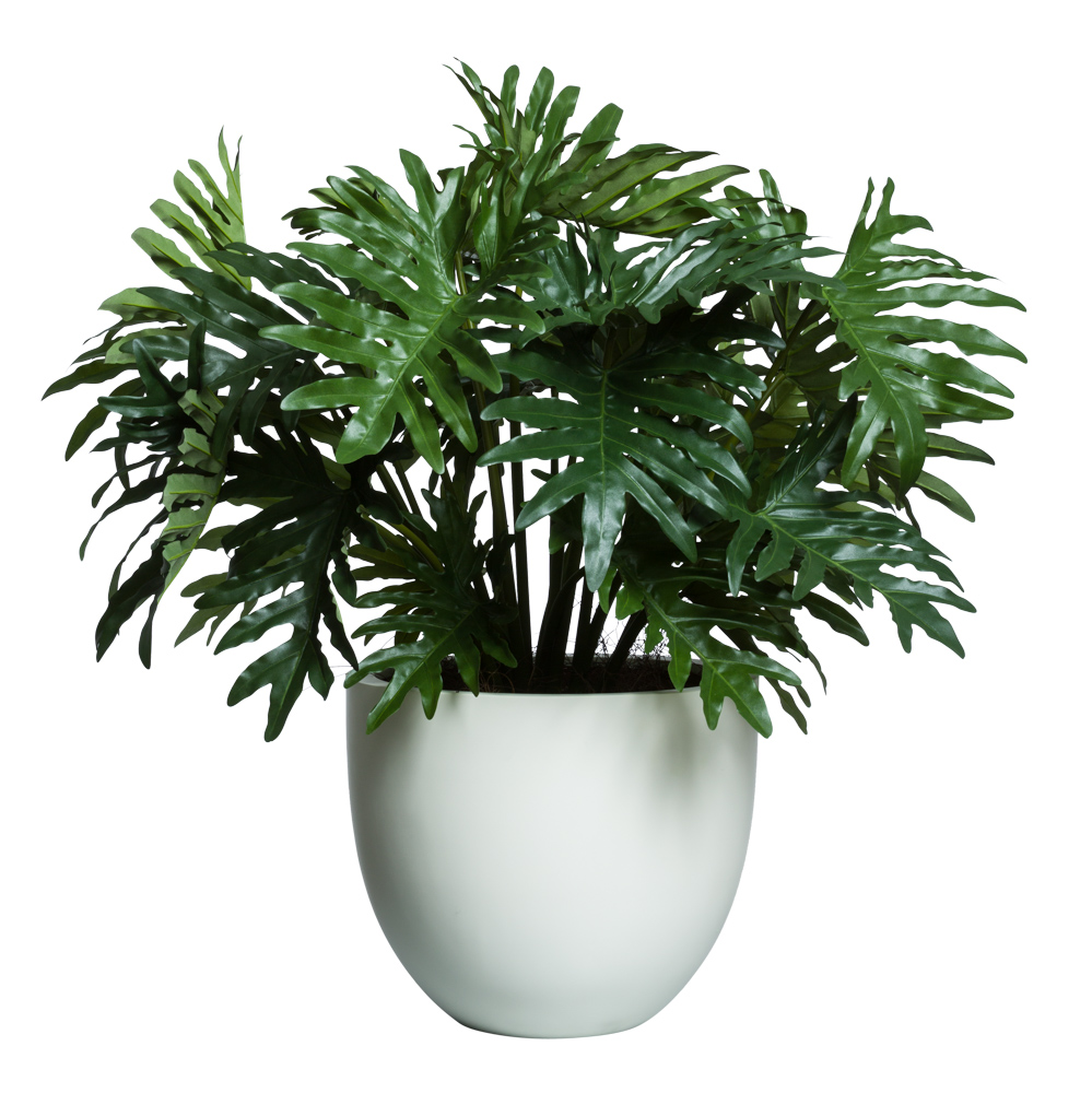 SELLOUM BUSH IN WHITE ROUND TAPERED SANDSTONE POT ( THIS ITEM WILL BE AVAILABLE IN MID-NOVEMBER 2021 )