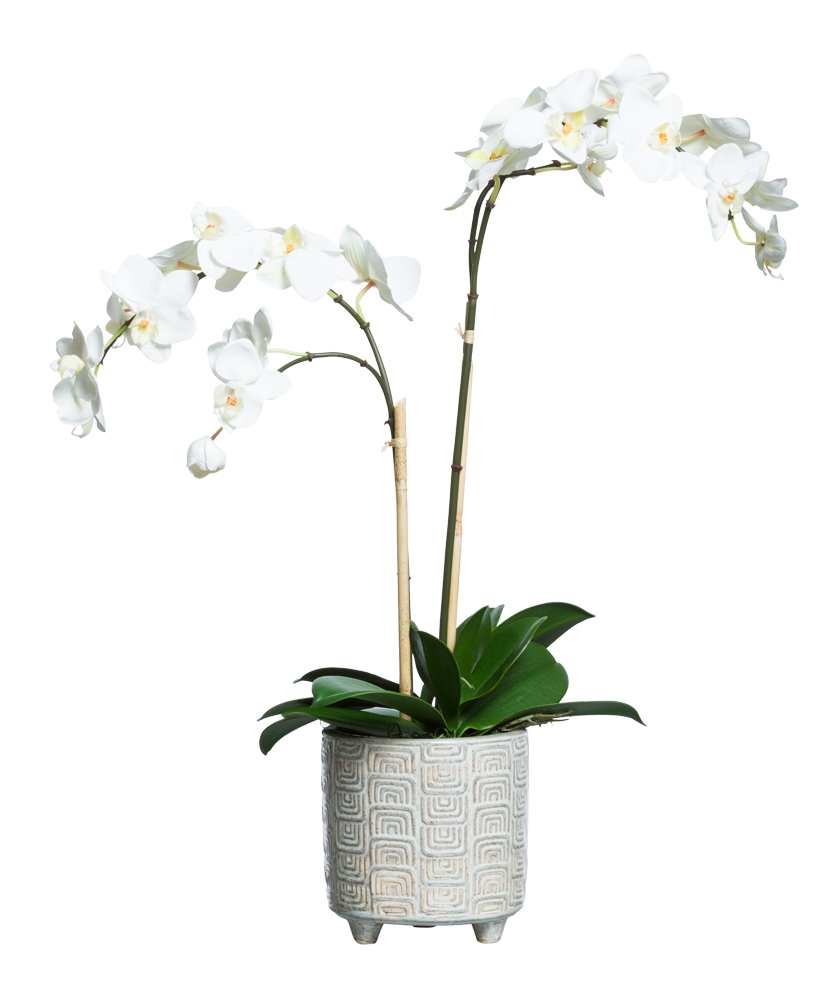 WHITE PHAL IN BEIGE FOOTED POT